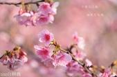 烏來櫻花:DSC_7328+.jpg
