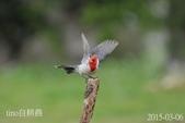 紅冠臘嘴雀-飛行版:DSC_7661+.jpg