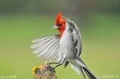紅冠臘嘴雀-飛行版:DSC_8334+.jpg