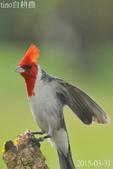紅冠臘嘴雀-飛行版:DSC_8415++.jpg