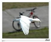 鴿子:a 102