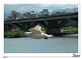 鴿子:a 107-