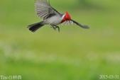 紅冠臘嘴雀-飛行版:DSC_8637+.jpg