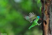 2年沒拍5色鳥了:DSC_7043+.jpg