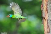 2年沒拍5色鳥了:DSC_6901+.jpg