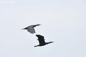 小黑 5 拍魚鷹:DSC_4019+.jpg