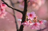 烏來櫻花:DSC_7355+.jpg