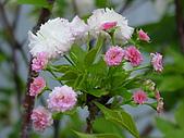 櫻花:DSC00909.jpg