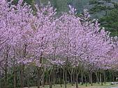 武陵農場-櫻花盛開:DSC00002.JPG