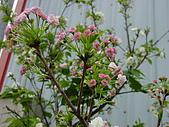 櫻花:DSC00908.jpg