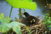 麻雀、鷺鷥、紅冠水雞~荷花池生態秀:C 012.JPG