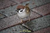 鳥類寫真:紅冠水雞、麻雀、綠繡眼、白頭翁、黑枕藍鶲、五色鳥:1786257058.jpg