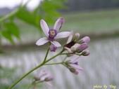 杜鵑花、苦楝、金魚草、玻斯菊、飄香藤:1370664902.jpg