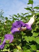 紫色浪漫97.11:蒜香藤、立鶴花、翠蘆莉、天使花、鼠尾草、馬蘭、台灣馬藍、矮牽牛:1878380512.jpg