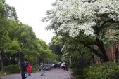 2012春暖花開~流蘇、野薔薇、加羅林魚木…..:1055388507.jpg