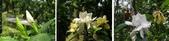 珠兒愛拍:低矮灌木:梔子花
