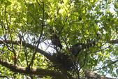2012 鳥影~ 台灣藍鵲:1975213353.jpg