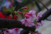 2013新竹麗池之櫻.中正紀念堂梅櫻:1443372231.jpg