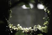 2012繡球花.阿勃勒.:1603065234.jpg