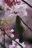 綠繡眼VS大漁櫻:G 072-2.jpg