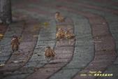 鳥類寫真:紅冠水雞、麻雀、綠繡眼、白頭翁、黑枕藍鶲、五色鳥:1786257059.jpg
