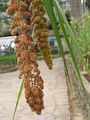 珠兒愛拍:食用植物:小米