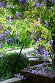 2013紫藤咖啡園:1744197440.jpg