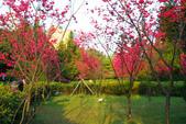 2013新竹麗池之櫻.中正紀念堂梅櫻:1443385321.jpg