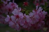 2013新竹麗池之櫻.中正紀念堂梅櫻:1443372232.jpg