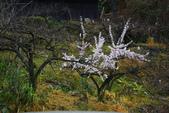 2012武陵農場賞櫻:1837845737.jpg