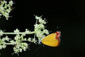 陽明山追蝶樂~紅邊黃小灰蝶、青斑蝶:B 593.JPG