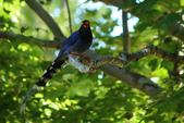 台灣藍鵲~石牌行義公園:b 004.JPG