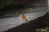 鳥類寫真:紅冠水雞、麻雀、綠繡眼、白頭翁、黑枕藍鶲、五色鳥:1786257060.jpg