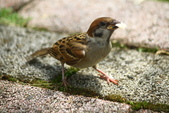 麻雀、鷺鷥、紅冠水雞~荷花池生態秀:C 120.JPG