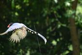 台灣藍鵲~石牌行義公園:b 128.JPG