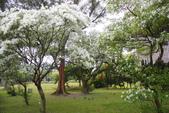 2012春暖花開~流蘇、野薔薇、加羅林魚木…..:1055388509.jpg