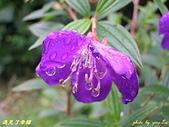 珠兒愛拍:低矮灌木:野豔牡丹11