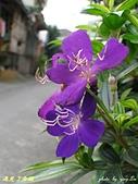 珠兒愛拍:低矮灌木:野豔牡丹1