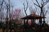 2012龍年風景(茶花山櫻花):1118862637.jpg