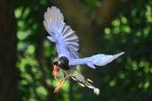 台灣藍鵲~石牌行義公園:b 139.JPG