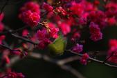 2013新竹麗池之櫻.中正紀念堂梅櫻:1443385385.jpg