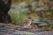 鳥類寫真:紅冠水雞、麻雀、綠繡眼、白頭翁、黑枕藍鶲、五色鳥:1786257061.jpg