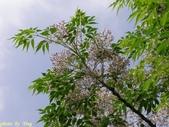 杜鵑花、苦楝、金魚草、玻斯菊、飄香藤:1370664907.jpg