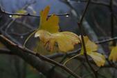 2012武陵冬景~楓葉紅銀杏黃:1305735564.jpg