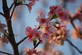 2013新竹麗池之櫻.中正紀念堂梅櫻:1443385323.jpg
