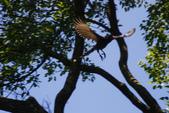 2012 鳥影~ 台灣藍鵲:1975213358.jpg