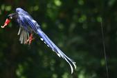 台灣藍鵲~石牌行義公園:b 137.JPG