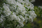 2012春暖花開~流蘇、野薔薇、加羅林魚木…..:1055388510.jpg