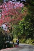 2012龍年風景(茶花山櫻花):1118862638.jpg