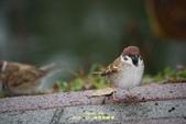 鳥類寫真:紅冠水雞、麻雀、綠繡眼、白頭翁、黑枕藍鶲、五色鳥:1786257062.jpg